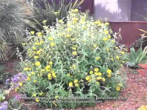 phlomis fruticosa jerusalem sage youtube