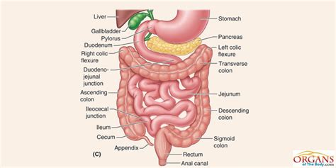 three sections of small intestine photos gut section parts illustration anatomy diagram