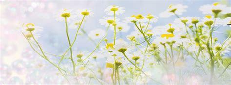 imagenes de rosas blancas para portada de facebook portadas para facebook de flores portadas para facebook