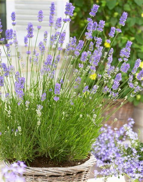 lavandula angustifolia english lavender pack of 10 plants