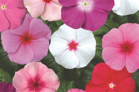 Bunga Vinca Casade Mixed vinca mixed pohlmansnursery bloominvalue flowers gardening australia bloomin value