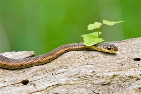 Garden Snake Ohio Garter Snake Pictures And Photos Photography Bird