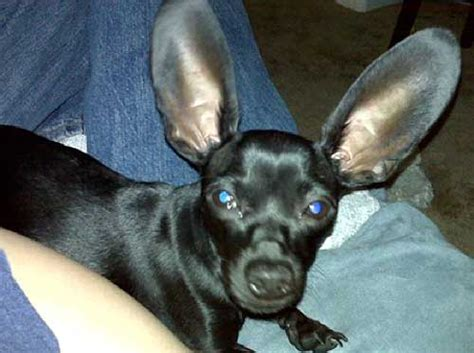 haired weenie chiweenie puppies for sale