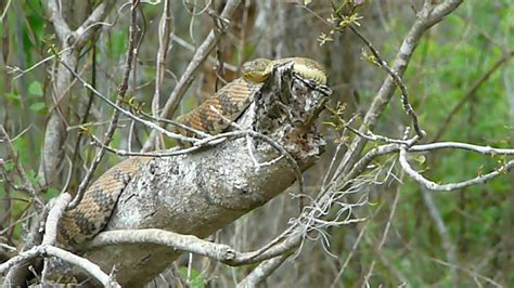 louisiana swamp lizzies stuff