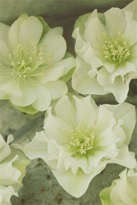 top of l shade called 17 best images about helleborus on shade