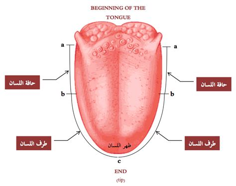 sections of the tongue parts of the tongue diagram cbeo