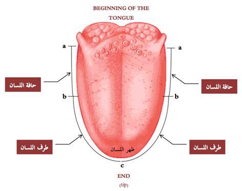 diagram of the tongue tongue diagram related keywords tongue diagram