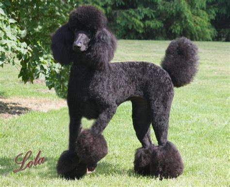 pictures of poodle haircuts 121 best poodle cuts clips styles images on pinterest