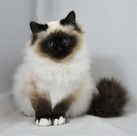fotos de gatos gatos angora gemelos jpg pictures to pin on pinterest razas de gatos angora turco balin 233 s