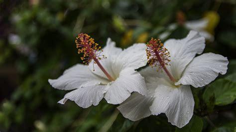 Hawaiian Flowers by Appreciating Beautiful Hawaiian Flowers Panda Travel