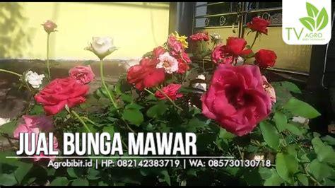 Biji Bunga Mawar cara menanam mawar dari biji jual bibit murah