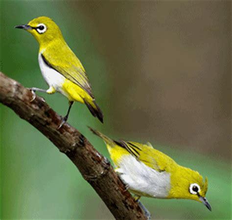 Makanan Burung Pleci Aikguan jogja icon jogjaicon jogja fans burung pleci dan
