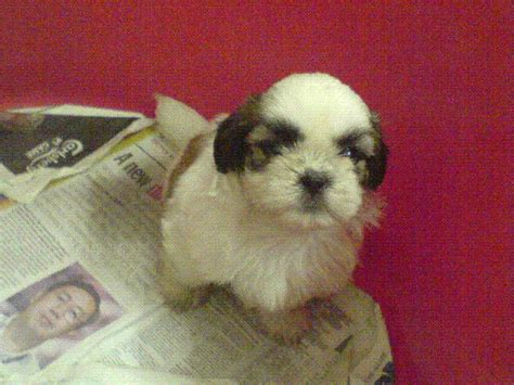 shih tzu price in malaysia shih tzu puppies for sale adoption from selangor petaling jaya adpost