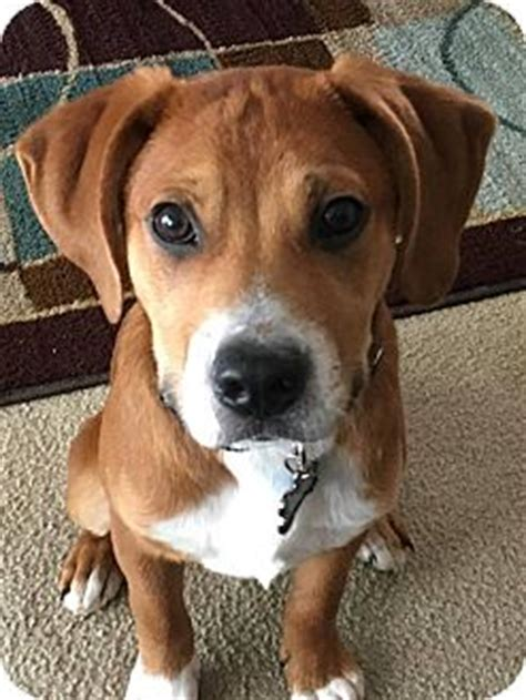 boxer puppies indianapolis indianapolis in boxer shepherd unknown type mix meet beau a puppy for adoption