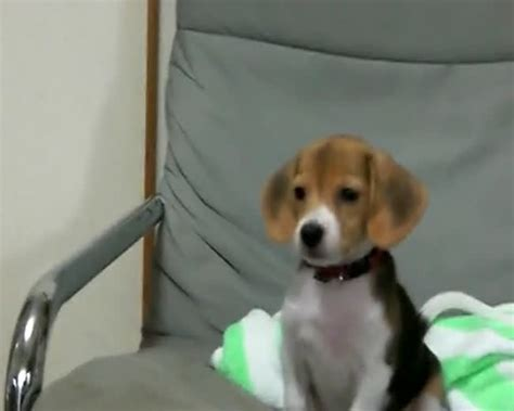 beagle puppy barking baby barking it up