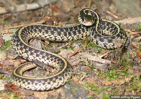 Garden Snake Nc Eastern Garter Snake Thamnophis Sirtalis Sirtalis