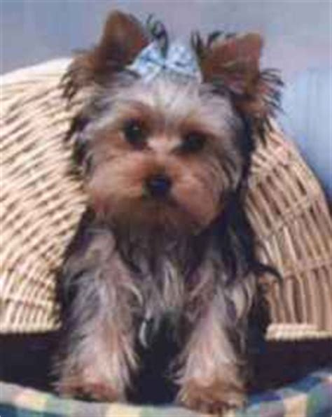 is toto a yorkie page five of terrier photo gallery