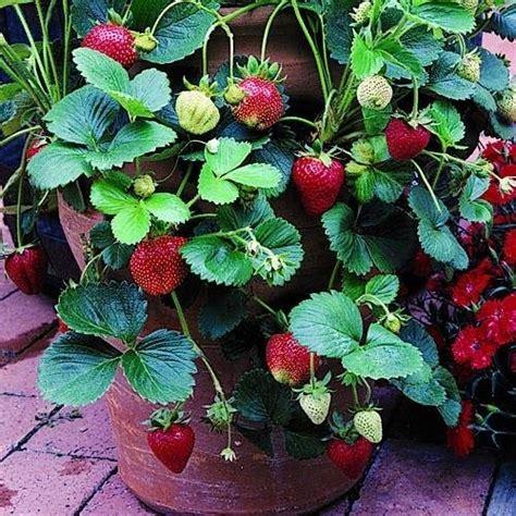 vasi per fragole vendita fragole ricanti alberi da frutto caratteristiche
