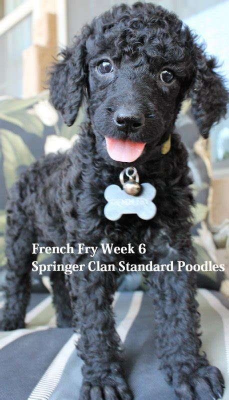 royal poodle lifespan royal standard poodles san diego dogs in our photo