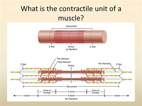 what is in law unit the muscular system ppt video online download