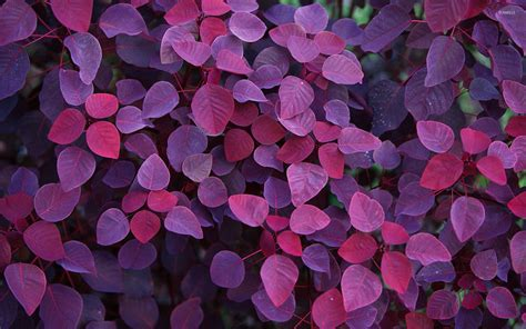 wallpaper pink leaves purple leaves wallpaper photography wallpapers 54559