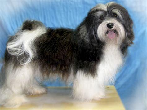 havanese shedding unc asheville for sale havanese http www akcshowdog non shedding puppy