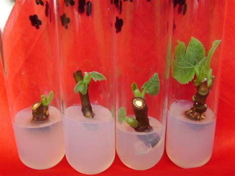 A Plant Disease - tissue culture plants banana tindora parval pineapple lemon potato fig sweet