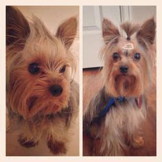 yorkie rear end with long hair pictures lola the yorkshire terrier before and after dog grooming