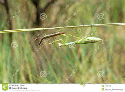 Scientific Name Of Grass by Mantis Stock Photo Image 44171779