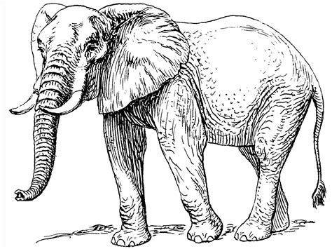 realistic elephant coloring page elephant and the baby elephant