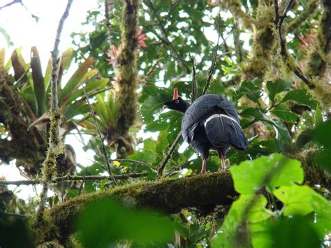 ls with birds on them horned guan birds hd wallpapers pics