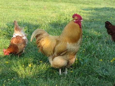 raise chickens in backyard raising backyard chickens animal medical new city