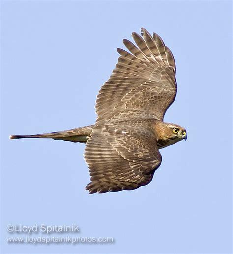sharp shinned hawk juvenile photo lloyd sandy