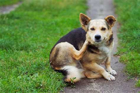 puppy scratching ears ditch the itch four ways to soothe a scratching