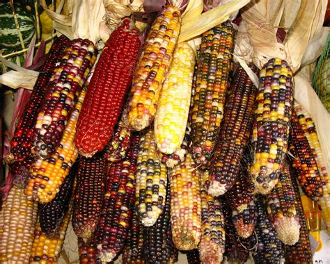 corn colors saratoga woods and waterways the farmers market a