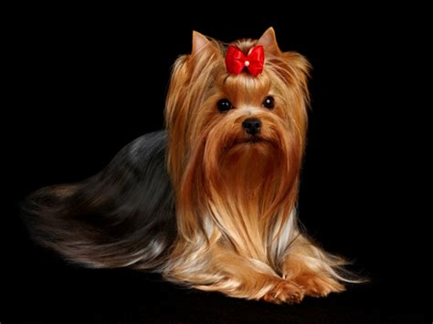 will my yorkie stay black and information on terriers characteristics of a yorkie puppies
