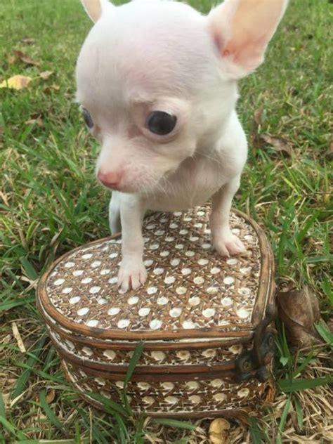 teacup puppies for sale houston teacup chihuahua puppies for sale in houston 2017 2018 cars reviews