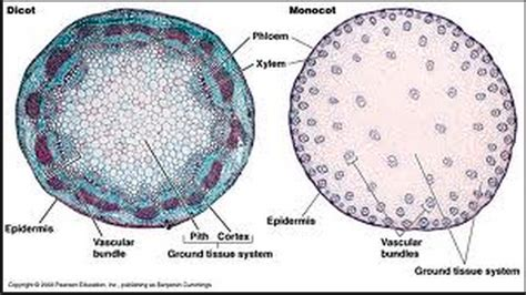 cross section of a monocot monocot vs dicot cross section quotes