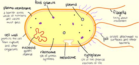 prokaryote diagram diagram prokaryotic cell choice image how to guide and