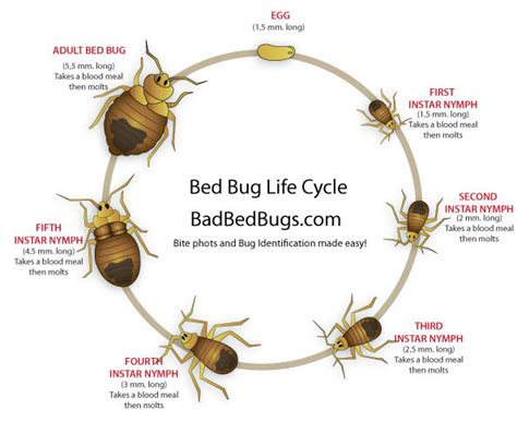 life cycle of bed bugs bed bug life cycle easy to understand growth chart