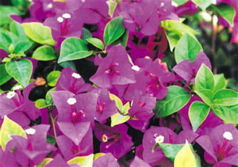 Bougenville Violet violet bougainvilleas