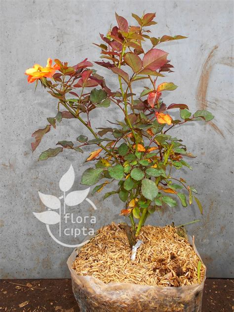 jual tanaman hias bunga mawar kuning  lapak floracipta
