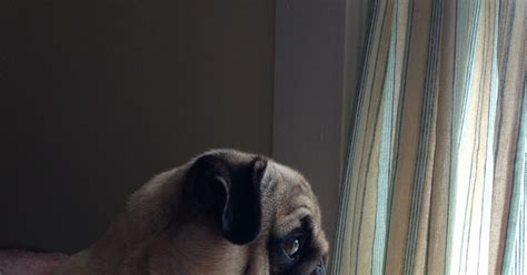 pug hip problems health problems in pugs many