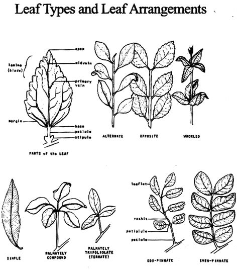 leaf identification coloring pages free coloring pages of leaf chart