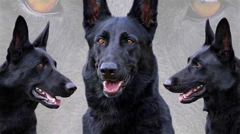 black shepherd black german shepherd