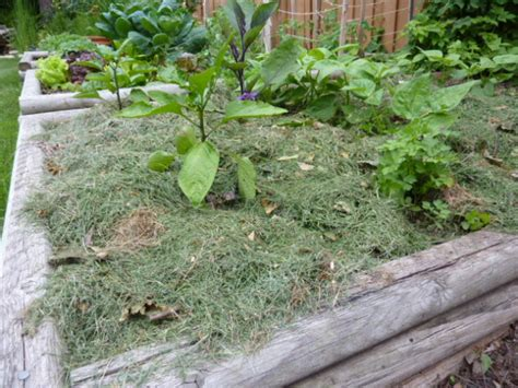 using cedar mulch in vegetable garden it s time to mulch startribune