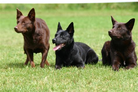 kelpie breed three australian kelpie photo and wallpaper beautiful three australian kelpie pictures