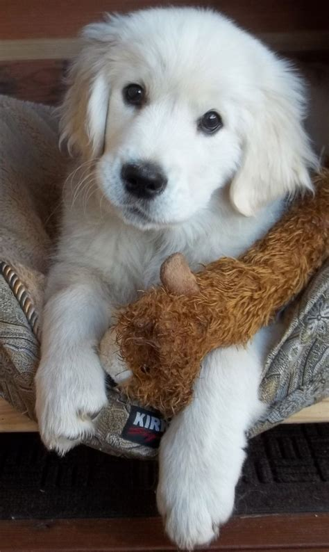 golden retrievers top golden retriever sites forums best 25 white puppies ideas on pinterest white dogs