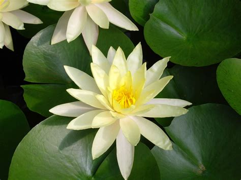 flower picture flower picture lotus flower 8