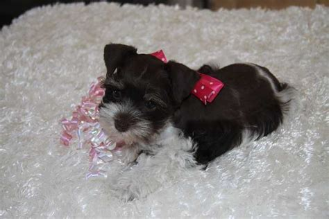 teacup puppies for sale in oklahoma pocket teacup puppies for sale in oklahoma breeds picture